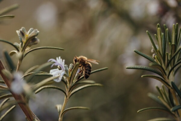 side view, honeybee, pollen, flower garden, rosemary, field, agriculture, nature, plant, herb
