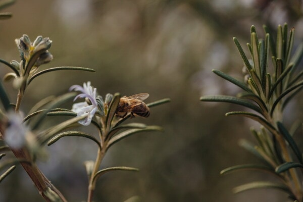 rosemary, herb, aromatic, honeybee, pollen, plant, nature, tree, evergreen, flower