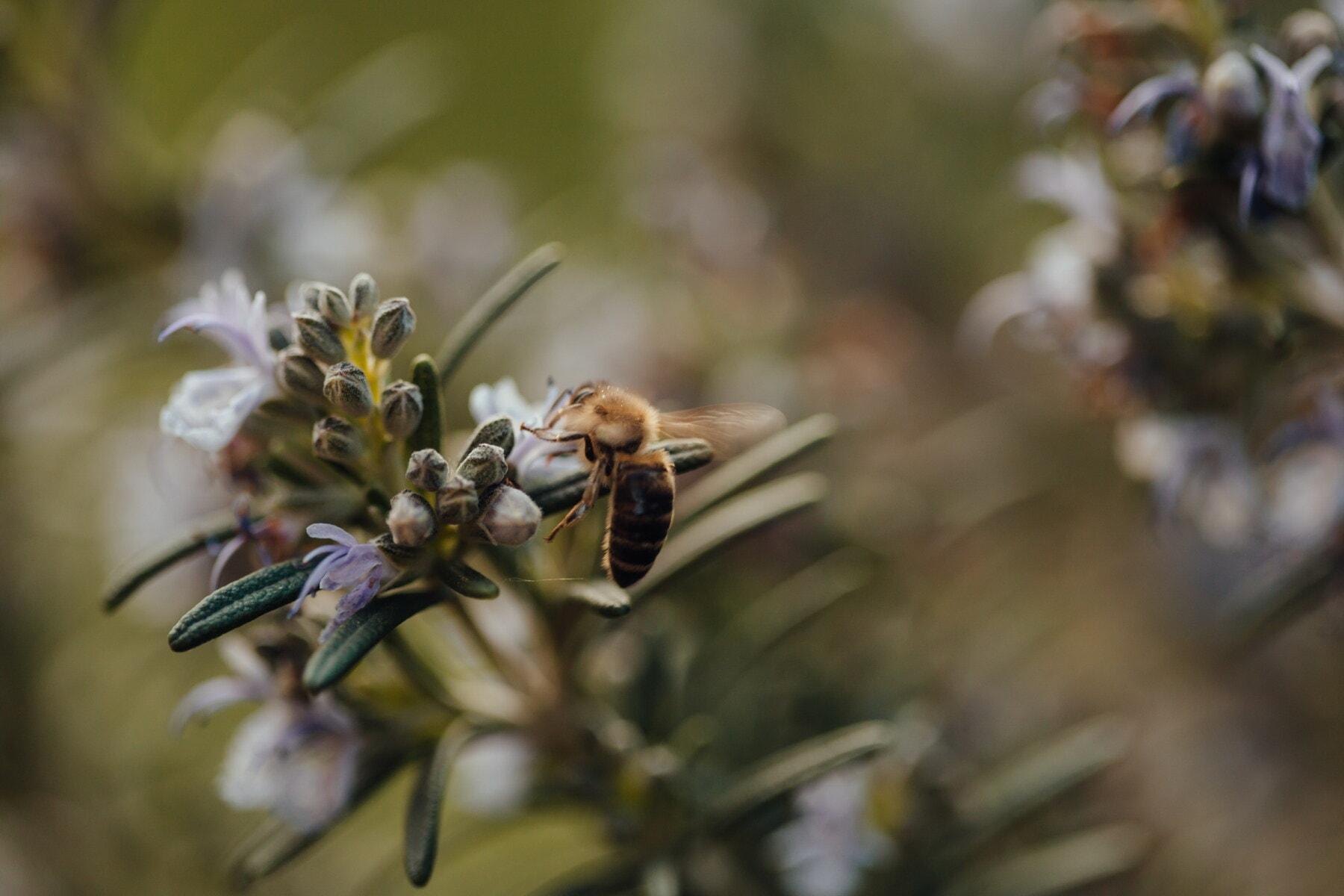 Biene, Anlage, Arbeiter, verwischen, Natur, Honig, Blume, Insekt, Gliederfüßer, im freien