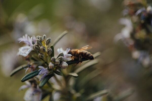macro, rosemary, wildflower, close-up, bee, honeybee, pollinating, nectar, pollen, blur