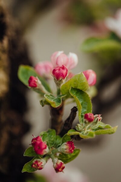 apple tree, red, flower bud, fruit tree, flower, rose, plant, nature, shrub, leaf