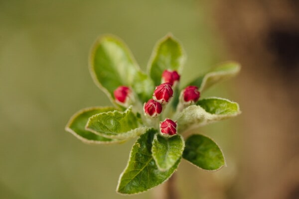 apple tree, red, flower bud, close-up, orchard, fruit tree, fair weather, blur, plant, leaf
