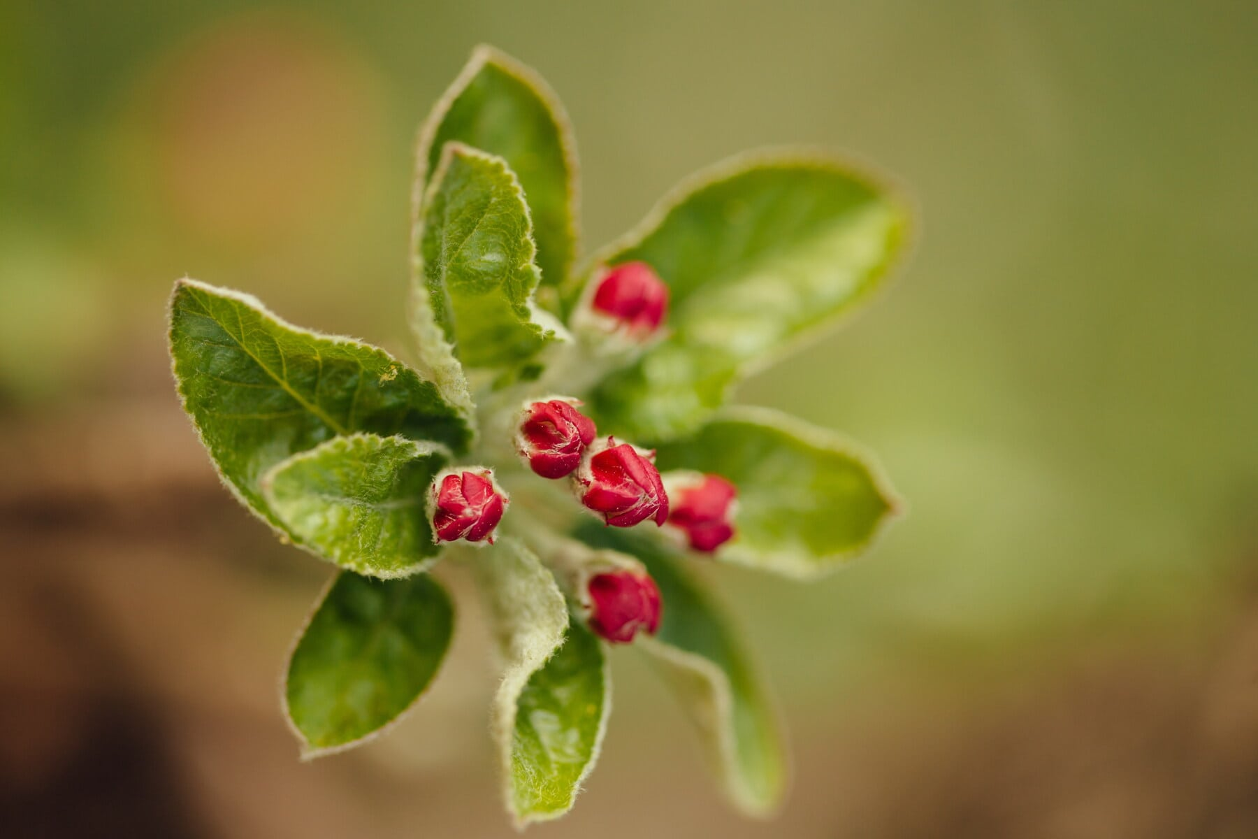 pommier, arbre fruitier, sauvage, fleurs, macro, fermer, brouiller, feuille, nature, plante