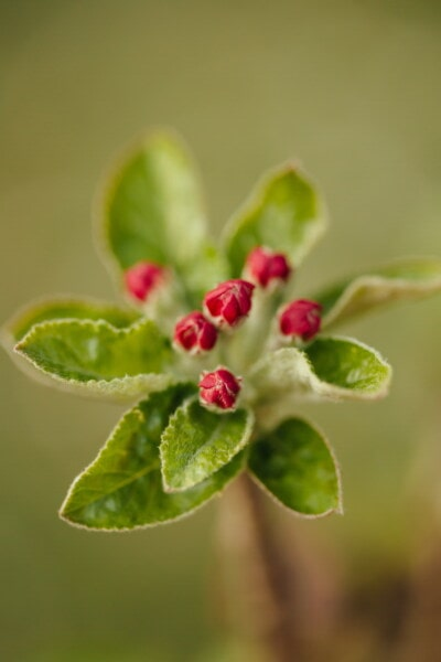 apple tree, fruit tree, red, flower bud, detail, botany, spring time, bud, plant, leaf