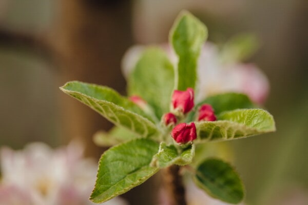 macro, apple tree, reddish, flower bud, close-up, plant, blur, herb, leaf, flower