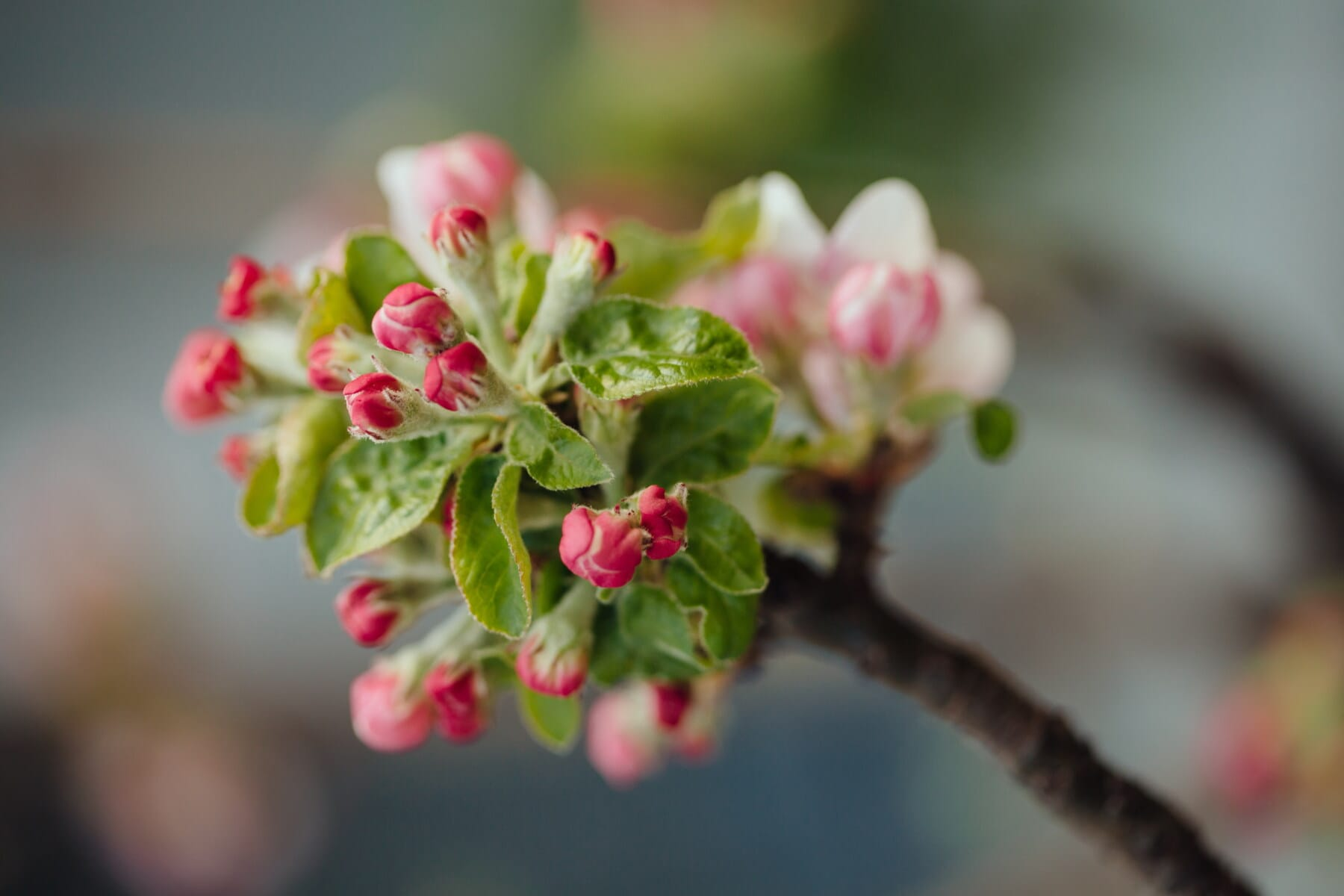orchard, fruit tree, apple tree, flower bud, side view, tree, nature, branch, leaf, flower