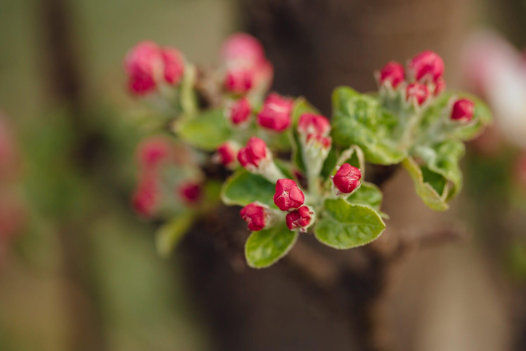 arbre fruitier, fermer, pommier, printemps, floraison, pétale, bouton floral, nature, plante, fleur