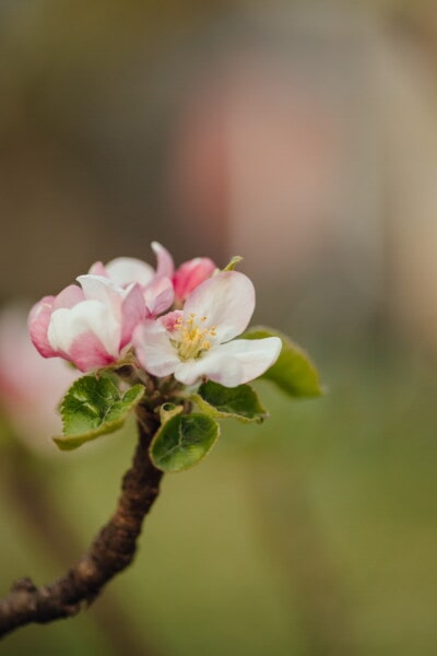 apple tree, pollen, white flower, spring time, close-up, pistil, petal, blur, apple, flower