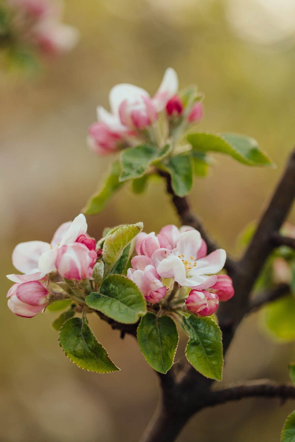 fruit tree, apple tree, white flower, petals, pinkish, branches, details, branch, spring, plant