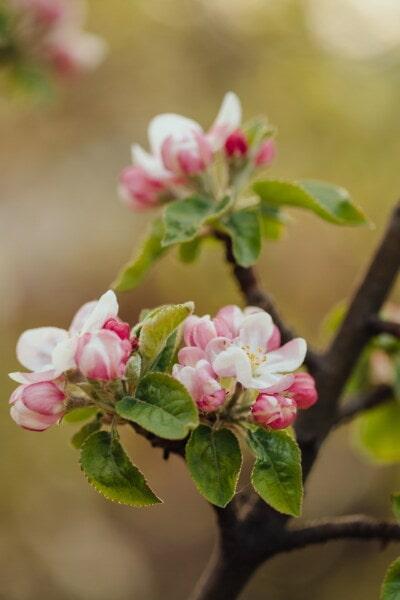 arbre fruitier, pommier, fleur blanche, pétales, rosâtre, branches, détails, branche, printemps, plante