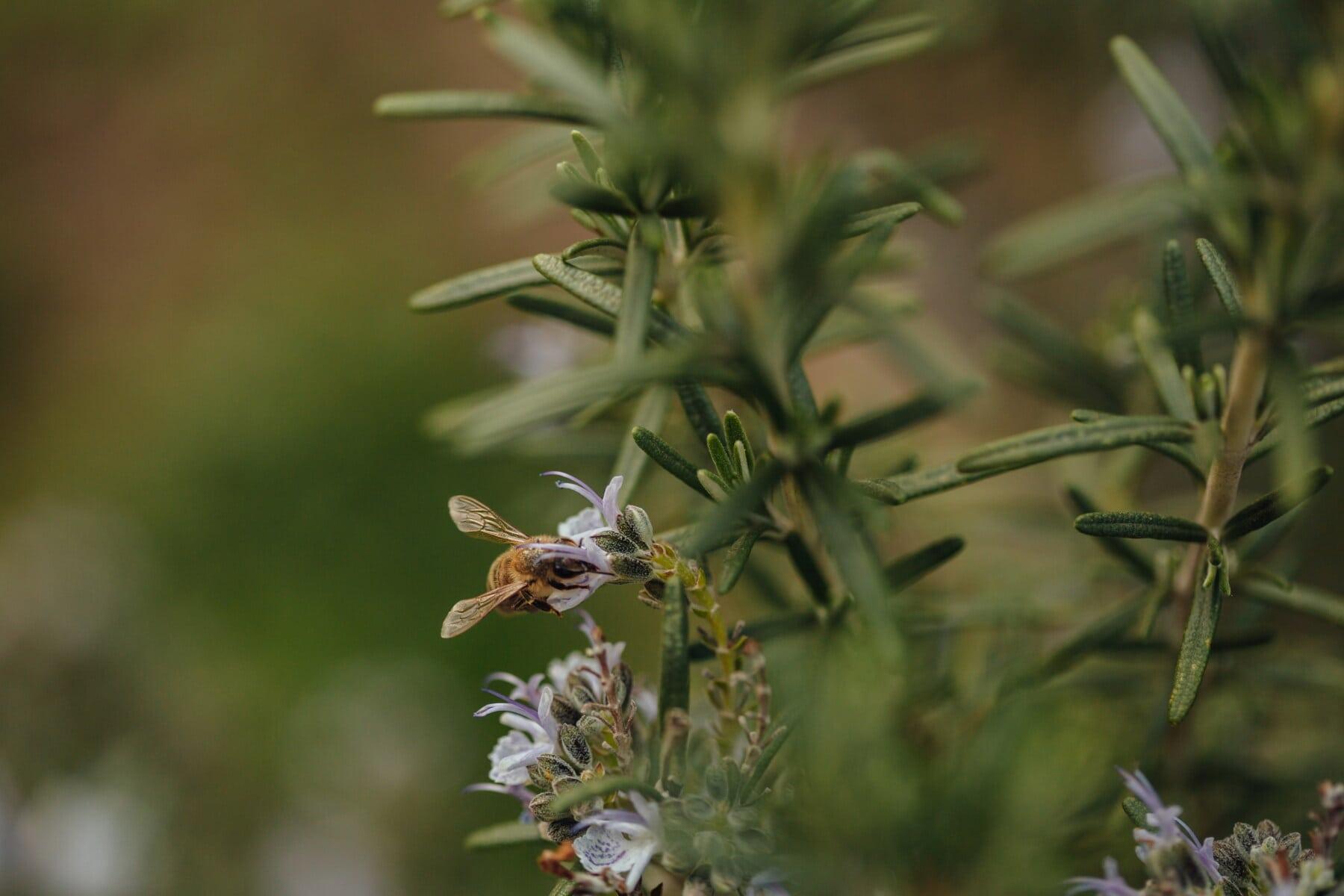 Nektar, Bestäubung, Honigbiene, Tierwelt, Insekt, Wildblumen, Organismus, Wildnis, Natur, Anlage