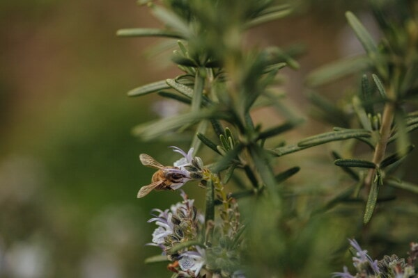 nectar, pollination, honeybee, wildlife, insect, wildflower, organism, wilderness, nature, plant