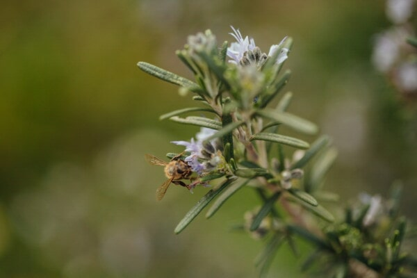 pollinating, metamorphosis, insect, honeybee, spring time, meadow, branches, rosemary, flower, nature