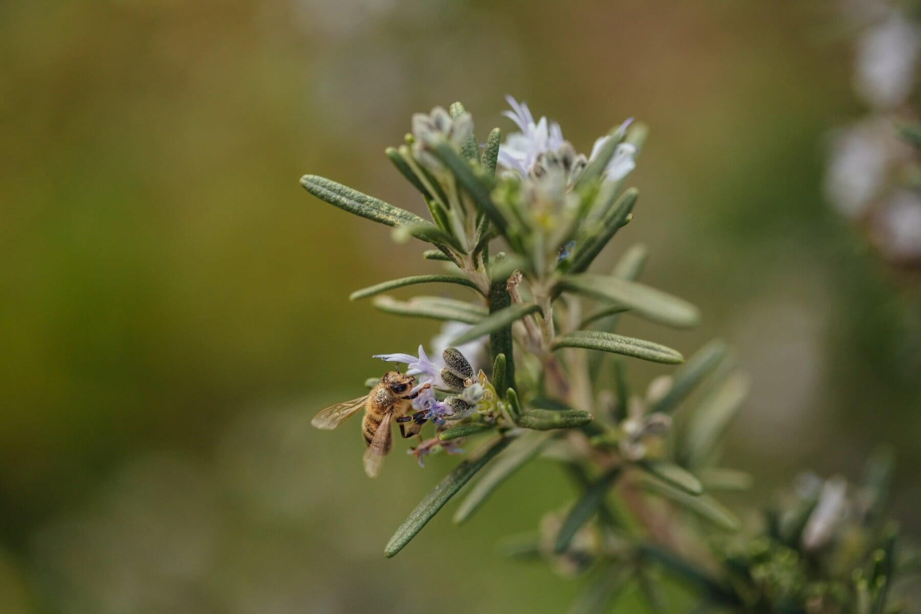 pollen, nectar, bee, honeybee, pollination, blur, rosemary, herb, garden, nature
