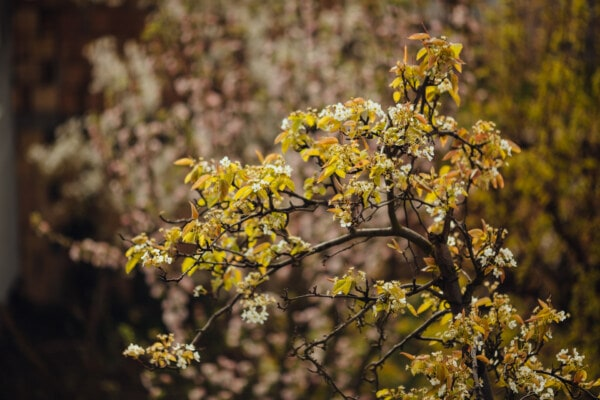 fruit tree, pear, tree, spring time, flowers, branches, plant, yellow, nature, autumn
