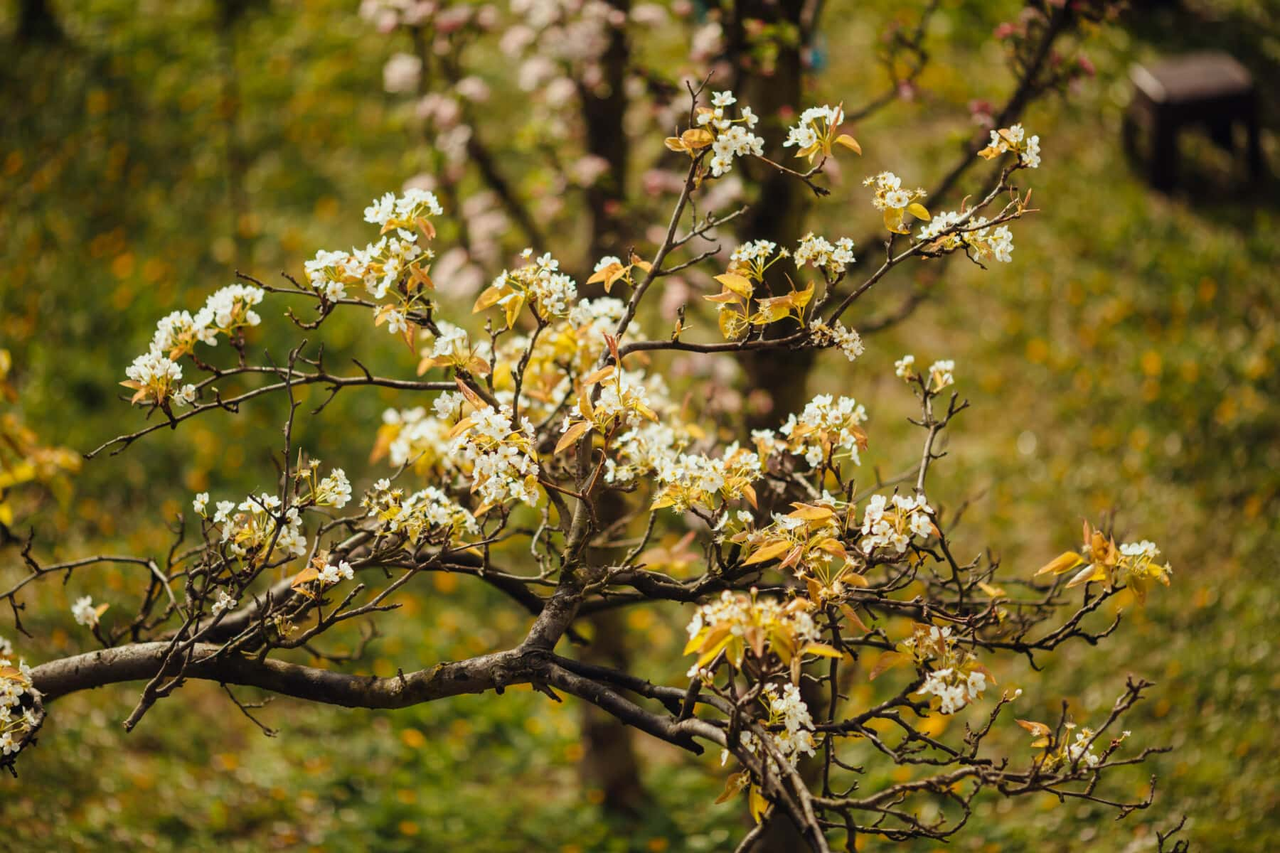 fruit tree, pear, tree, orchard, spring time, plant, leaf, flower, autumn, nature