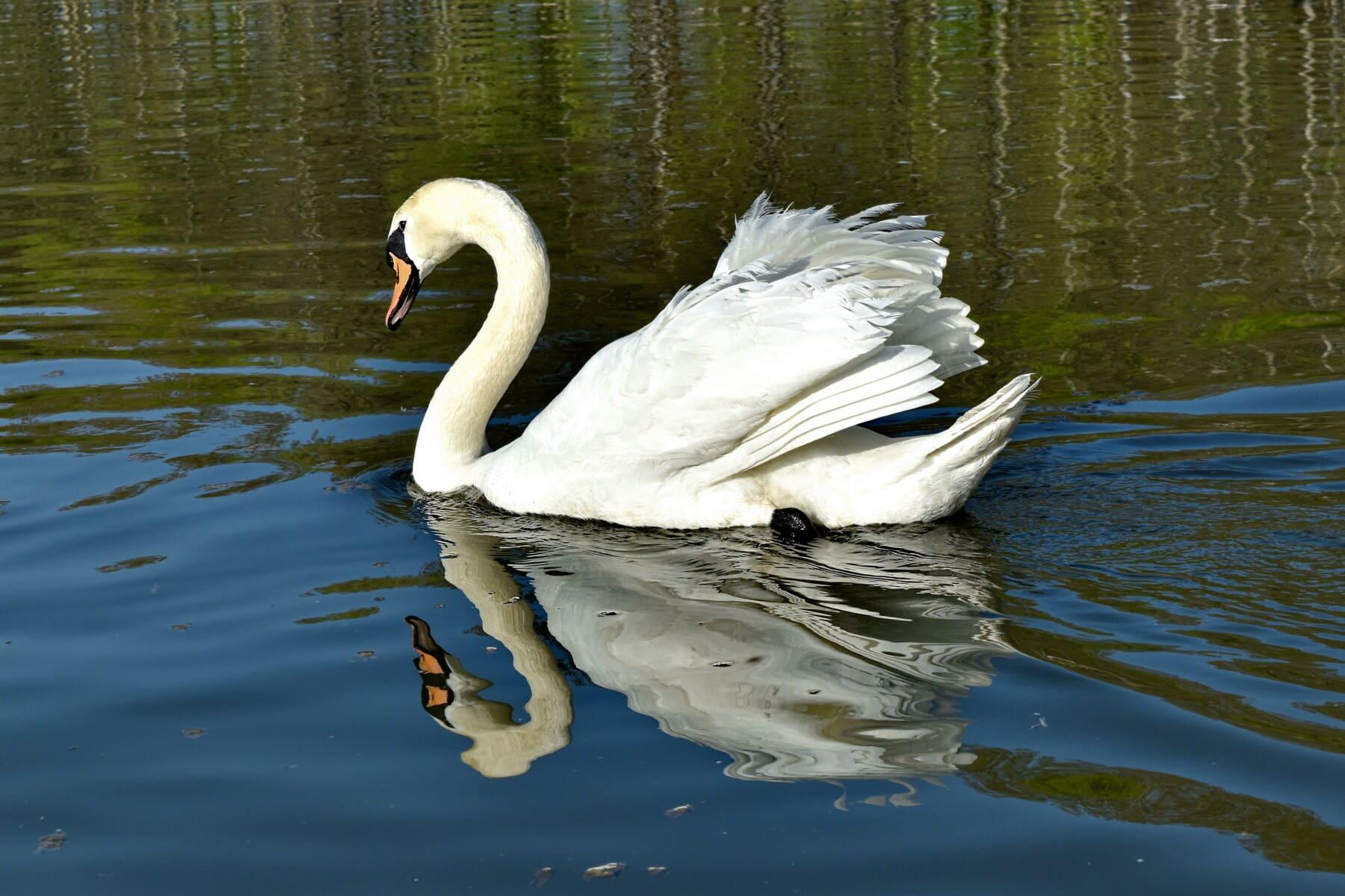 Schwan, majestätisch, Reflexion, Tierwelt, Vogel, waten Vogel, Reiher, Wasser, Natur, Schwimmbad