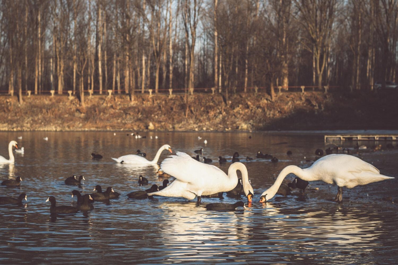 vadear el pájaro, cisne, rebaño, Lago, aves marinas, invierno, pájaro, agua, aves acuáticas, naturaleza