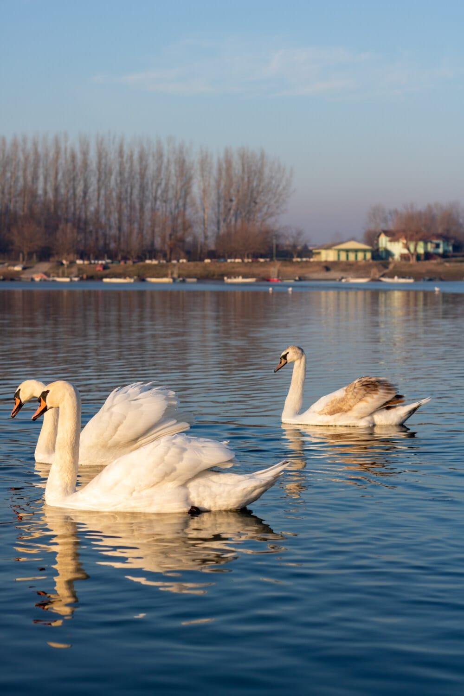 หงส์, ฝูง, ว่ายน้ำ, ทะเลสาบ, นก, นก, นกน้ำ, น้ำ, ธรรมชาติ, ปีก