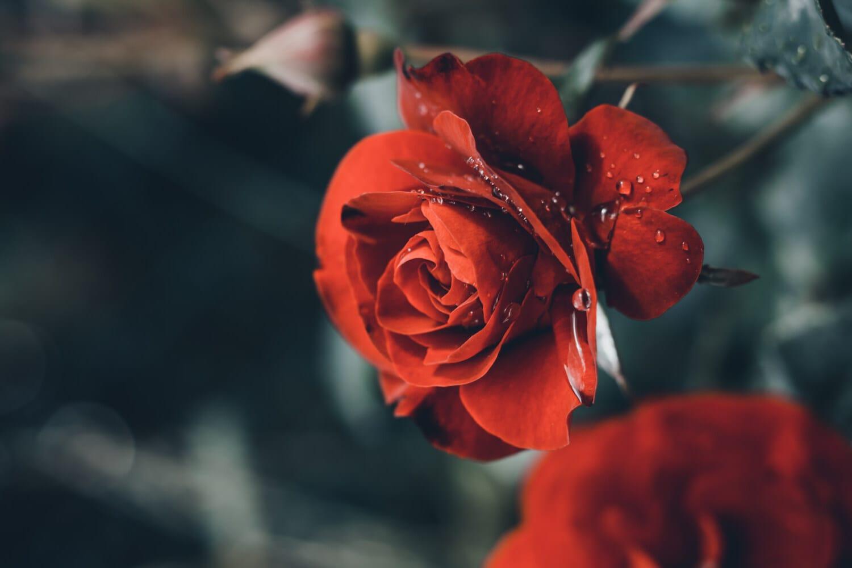 장미, 이 슬, 비, 물방울, 꽃, 자연, 장미, 공장, 꽃잎, 플로 라