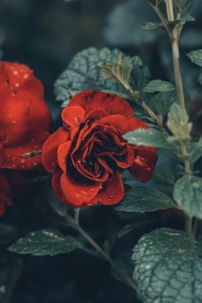 tetesan air, embun, mawar, merapatkan, naik, tanaman, bunga, daun, Taman, alam