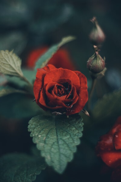 red, dew, wet, leaf, petal, bud, flower, nature, rose, plant