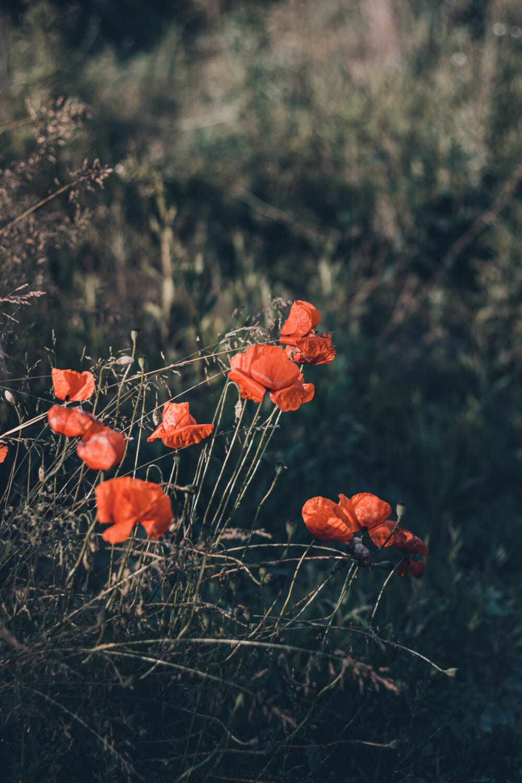 wildflower, opium poppy, flowers, plant, field, tree, poppy, flower, nature, outdoors