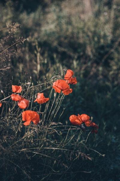 Wildblumen, Schlafmohn, Blumen, Anlage, Feld, Struktur, Mohn, Blume, Natur, im freien