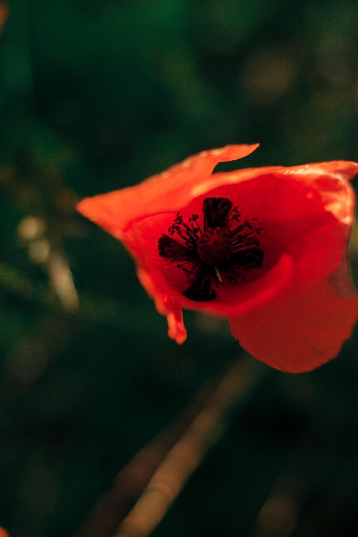 rot, Blume, Pollen, Stempel, aus nächster Nähe, Blüte, Natur, Anlage, Blütenblatt, im freien