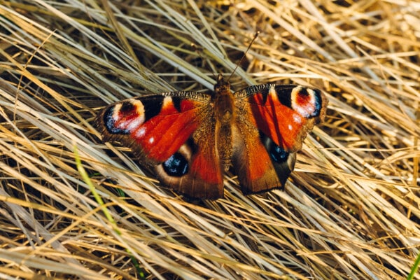 colorful, reddish, butterfly, details, hay field, insect, close-up, nature, outdoors, wildlife