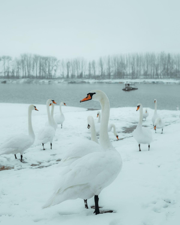 birds, swan, flock, coastline, snowy, winter, snow, fog, cold, ice