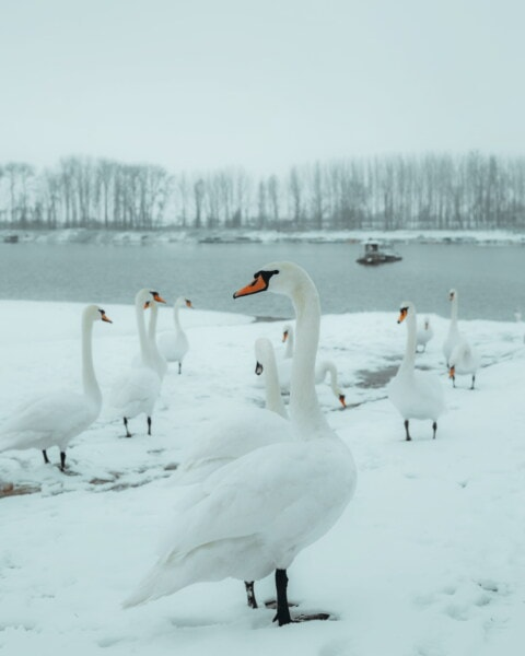 birds, swan, flock, coastline, snowy, winter, snow, fog, cold, ice