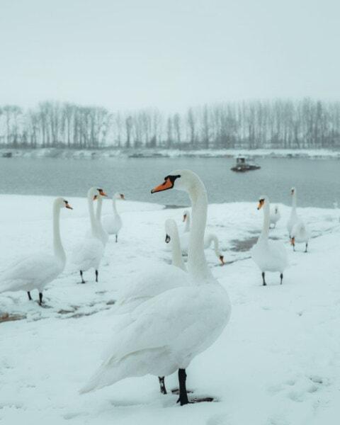 oiseaux, cygne, troupeau, littoral, neigeux, Hiver, neige, brouillard, froide, glace