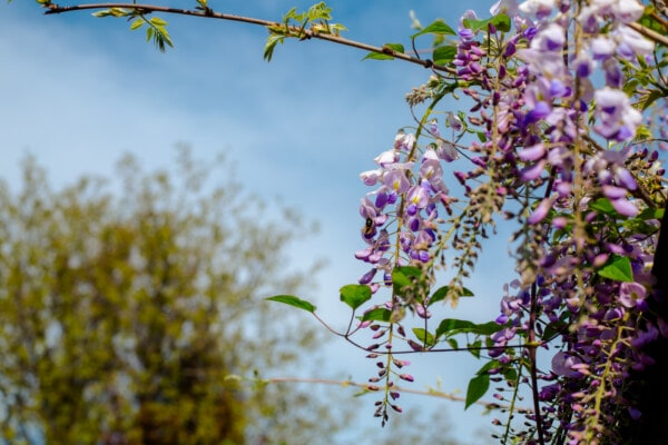 purplish, flowers, acacia, branch, flower, plant, tree, leaf, nature, flora