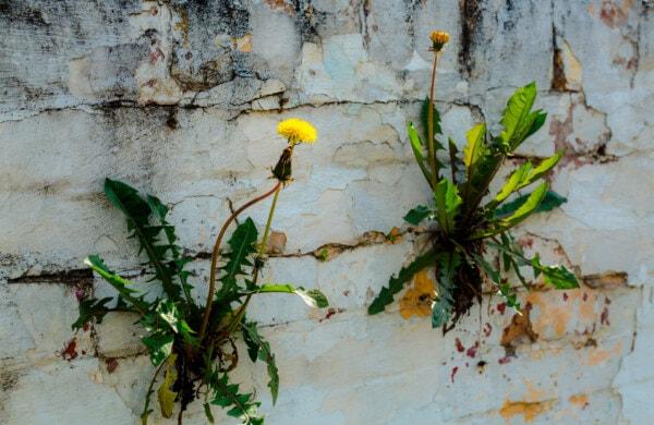 květiny, pampeliška, cihly, zeď, špinavý, staré, květ, závod, list, příroda