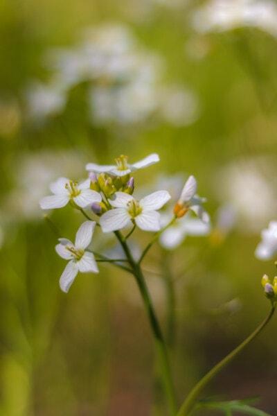 bunga liar, bunga putih, tanaman, musim panas, alam, bunga, musim semi, ramuan, mekar, flora