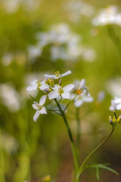 пустинята, бели цветя, растителна, пролет, градина, природата, цвете, билка, флора, листа