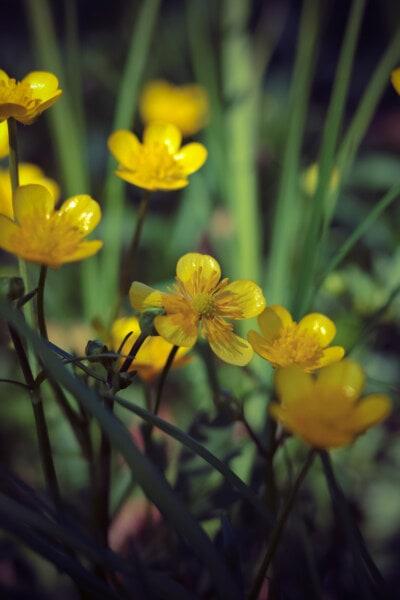 vadvirág, sárgás, kivirul, természet, növény, virág, gyógynövény, virágzás, tavaszi, levél