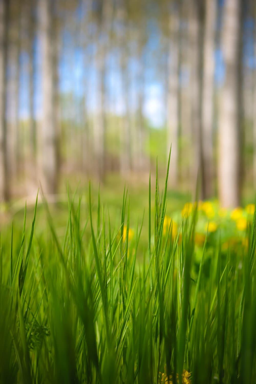 Graspflanzen, Gras, Kraut, Anlage, Feld, Sommer, Wiese, Frühling, Dämmerung, Natur