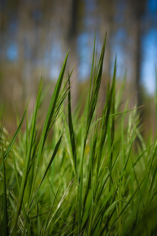 grüne Blätter, aus nächster Nähe, grünes Gras, Rasen, Frühling, Feld, Blatt, Getreide, Gras, Sommer