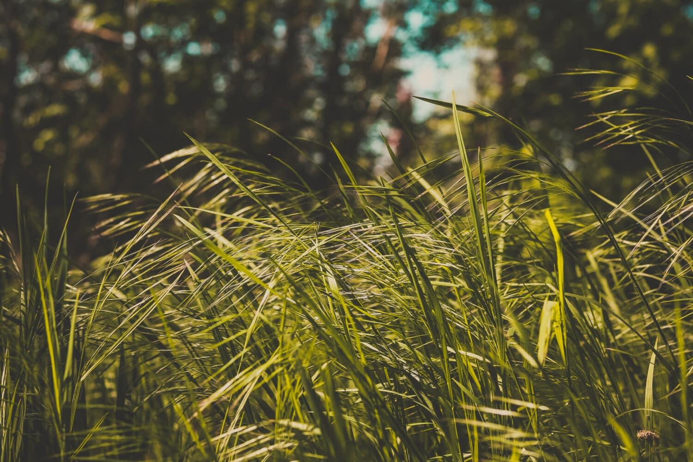 græsplanter, græs, græsklædte, plante, træ, blad, felt, sommer, udendørs, natur