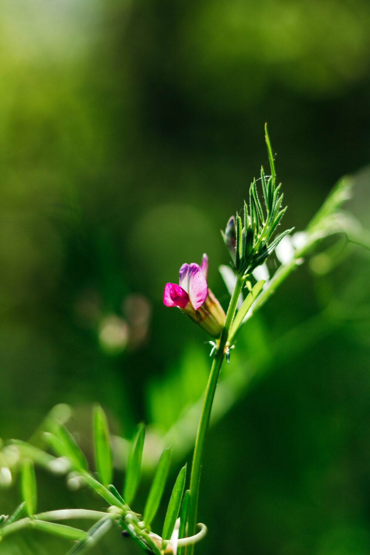 Wildblumen, violett, sonnig, Blatt, Anlage, Sommer, Rosa, Frühling, Natur, Blume