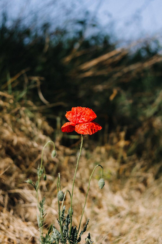 poppy, red, petals, opium poppy, wildflower, spring, bloom, field, plant, blossom