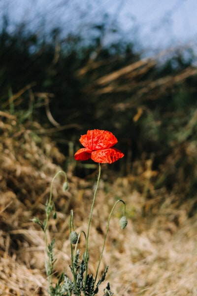 Papoila, vermelho, pétalas, papoula, flores silvestres, primavera, flor, campo, planta, flor