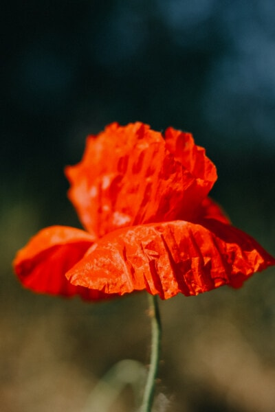 flower, close-up, reddish, poppy, petal, plant, nature, blossom, garden, outdoors