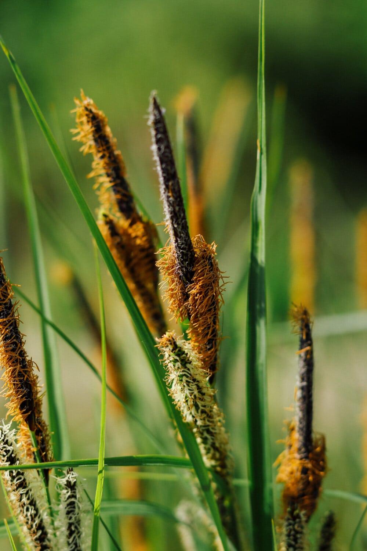 Graspflanzen, Gras, aus nächster Nähe, Tierwelt, Stroh, Natur, Sommer, im freien, Schönwetter, Blatt