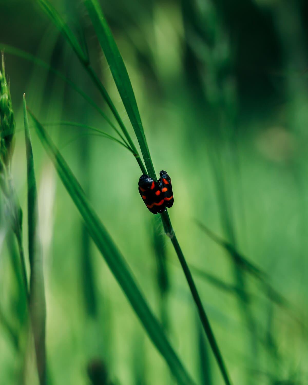 insekt, rød, feil, svart, nært hold, gresset, bille, hage, biologi, leddyr