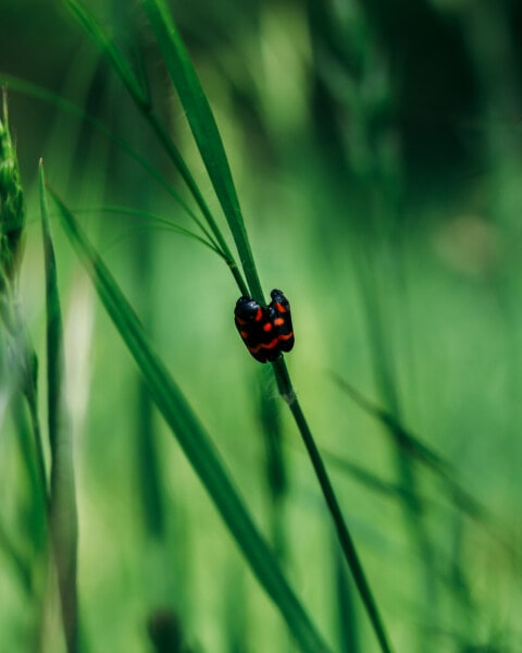insect, red, bug, black, close-up, grass, beetle, garden, biology, arthropod