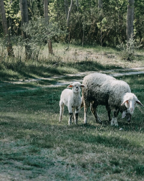 sheep, lamb, animals, meadow, grazing, forest path, field, grass, farm, livestock