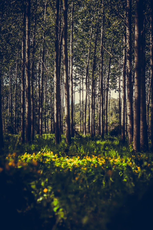 shadow, poplar, forest, shrub, dawn, wood, leaf, tree, landscape, nature